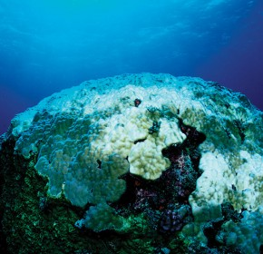 Coral bleaching, bleached coral reef, Layang Layang, Malaysia